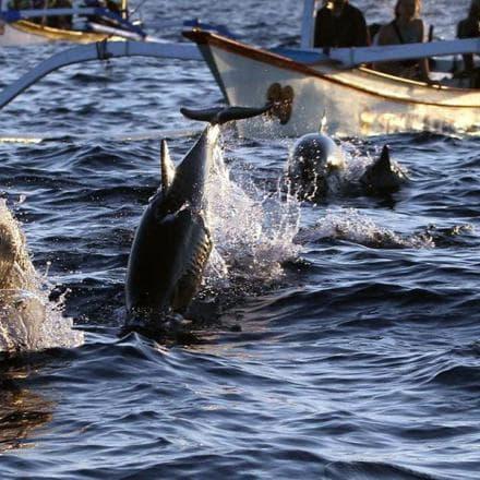 Atraksi Dolphin Lovina